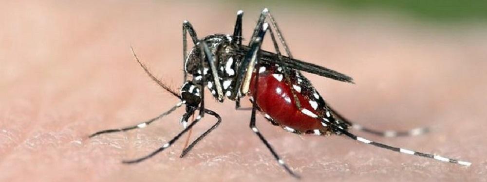 Aedes aegypti mosquito spreads Zika