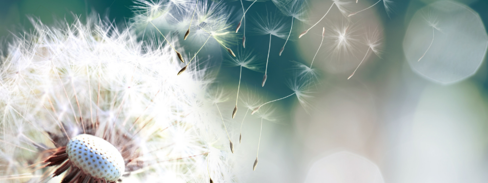 Dandelion dock with seeds on the wind