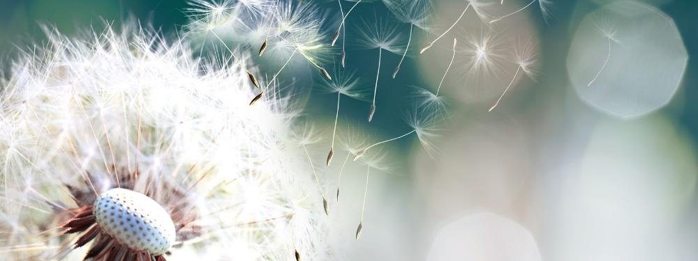 Seeds blowing off a dandelion seedhead